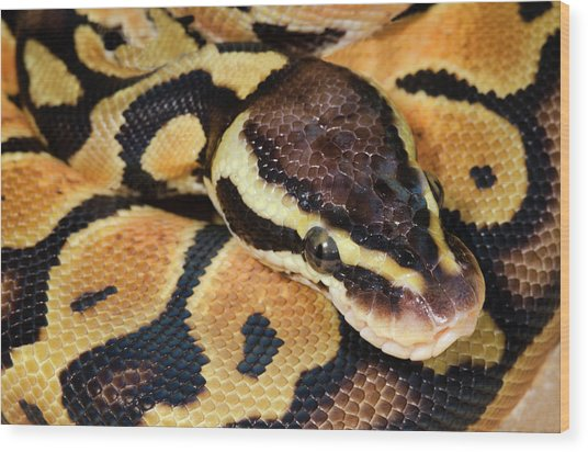 Pastel Royal Python Wood Print