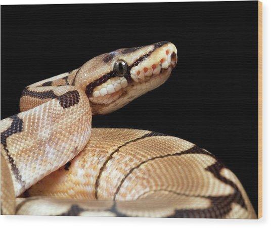 Pastel Variant Royal Python Wood Print