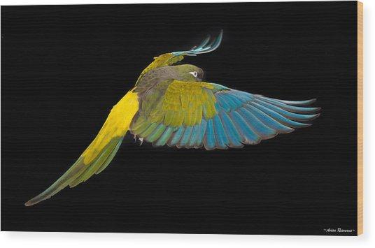 Patagonian Conure In Flight 2 Wood Print