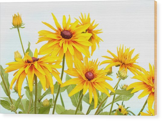Patch Of Black-eyed Susan Wood Print