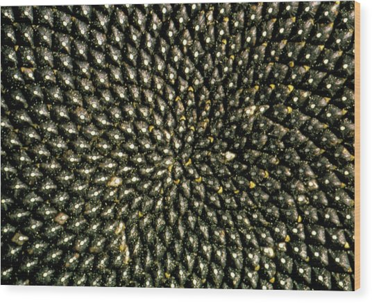 Pattern Of Seedhead Of Sunflower Wood Print
