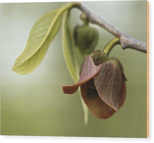 Pawpaw - Spring Delight Wood Print