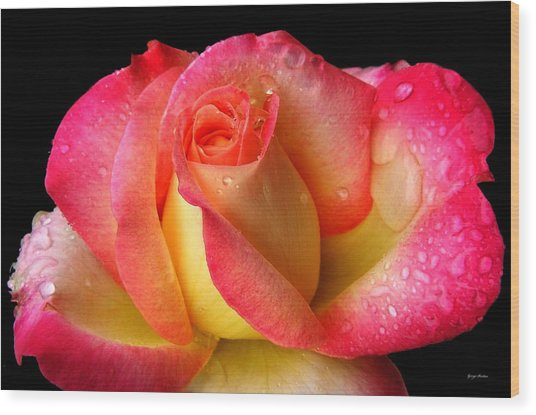 Peace Rose 001 Wood Print