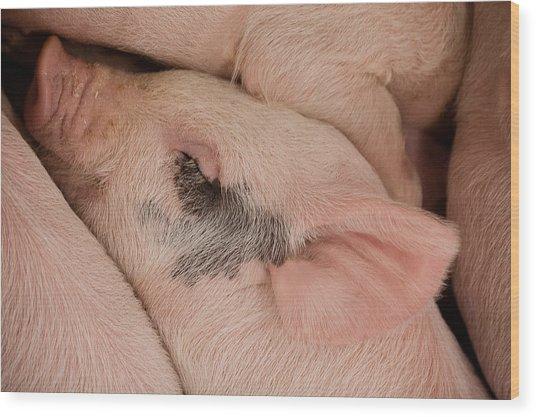 Peaceful Piglet Wood Print