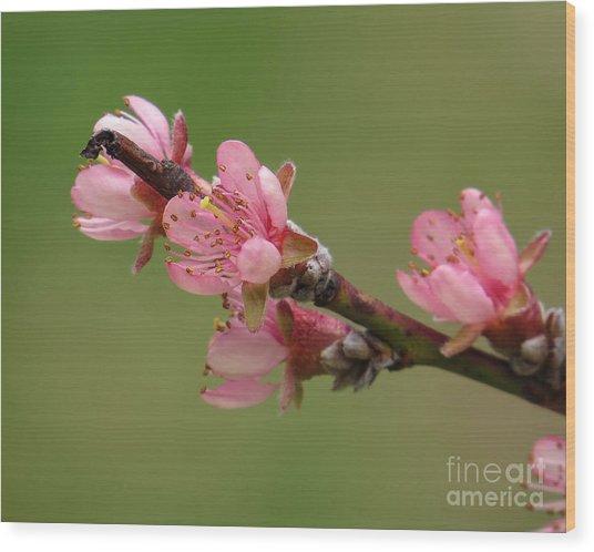 Peach Blossoms II Wood Print