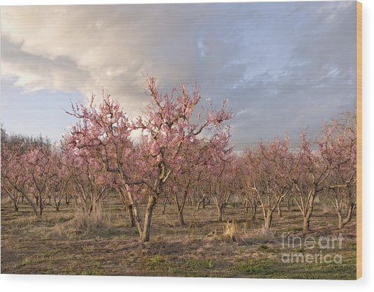Peach Orchard Wood Print