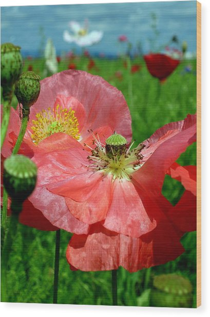 Peach Poppy Pods Wood Print