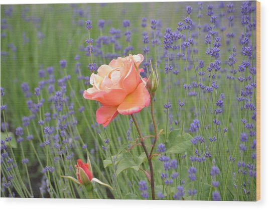 Peach Roses In A Lavender Field Of Flowers Wood Print