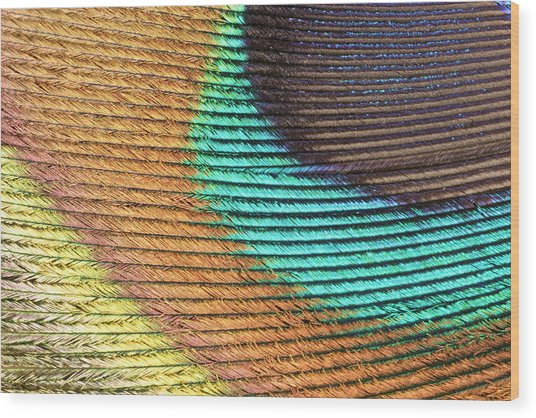 Peacock Feather Wood Print by Ted Kinsman/science Photo Library