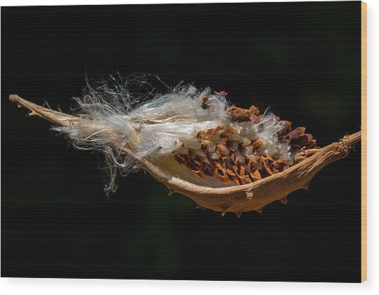 Pearl Milkweed Pod Split Open Wood Print