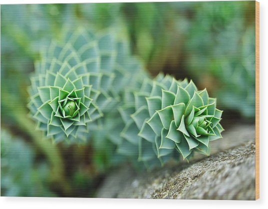 Pearly Succulents Wood Print