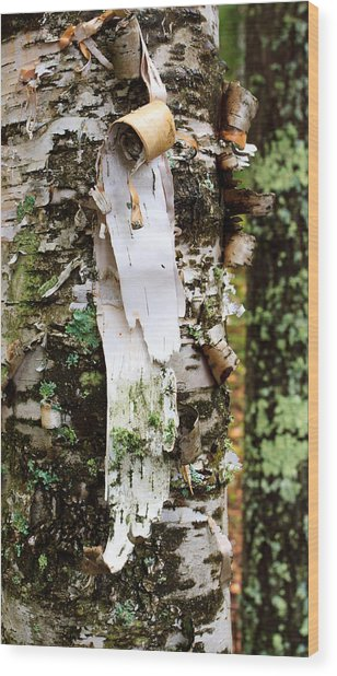Peeling Birch Wood Print