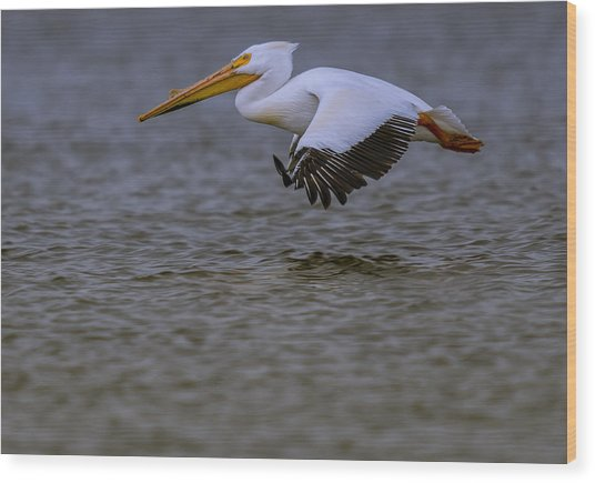 Pelican In Flight Wood Print