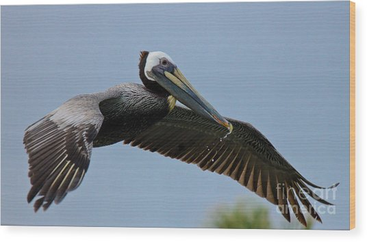 Pelican Liftoff Wood Print