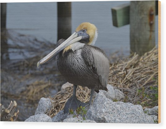 Pelican On Rocks Wood Print