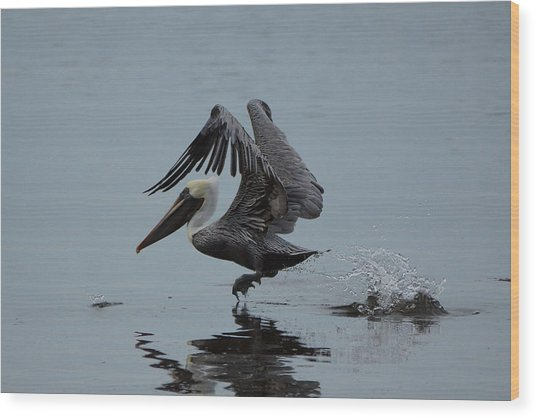 Pelican Takeoff Wood Print by Scott Dovey