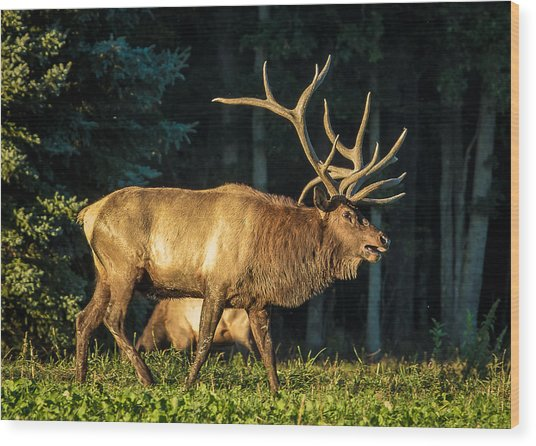 Pennsylvania Bull Elk Wood Print