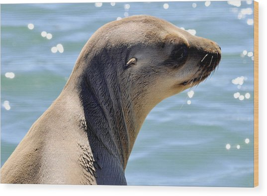 Pensive Sea Lion  Wood Print