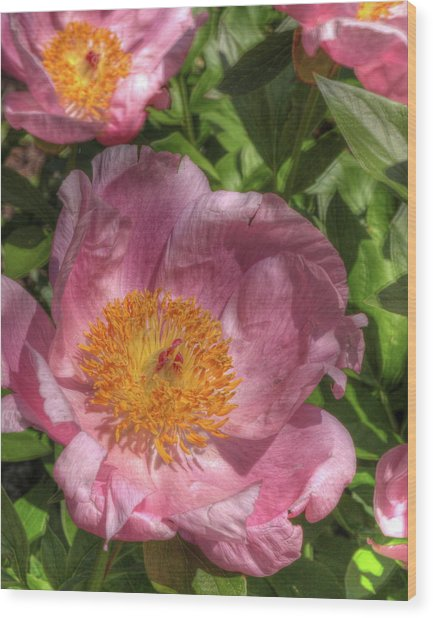 Peonies Aglow Wood Print
