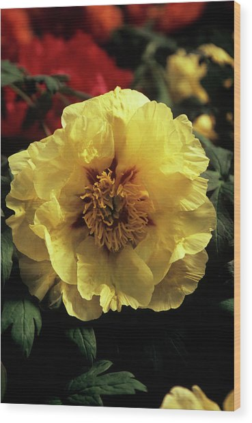 Peony (paeonia 'golden Isle') Wood Print by Ian Gowland/science Photo Library