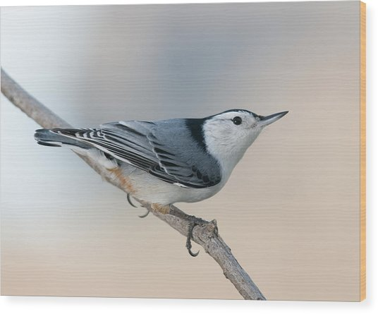 Perching Nuthatch Wood Print