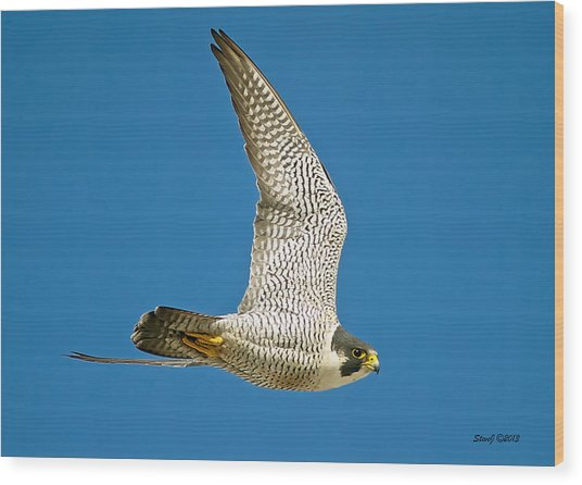 Peregrine Falcon Fly-by Wood Print