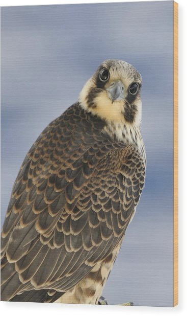 Peregrine Falcon Looking At You Wood Print
