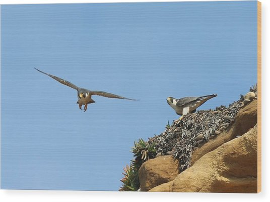 Peregrine Falcons - 1 Wood Print