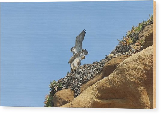 Peregrine Falcons - 3 Wood Print