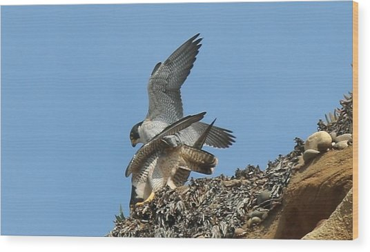 Peregrine Falcons - 4 Wood Print