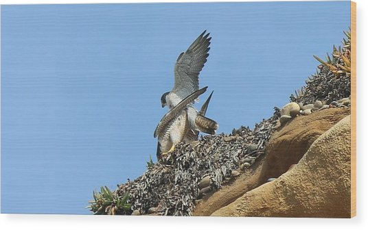 Peregrine Falcons - 5 Wood Print