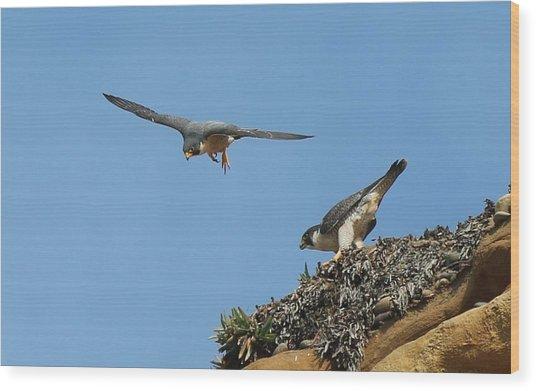 Peregrine Falcons - 6  Wood Print