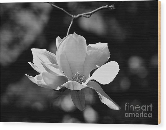 Perfect Bloom Magnolia In White Wood Print