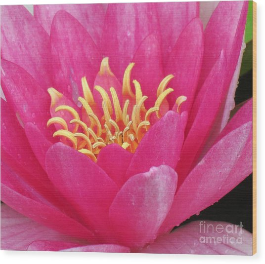 Perry's Fire Opal Water Lily Wood Print