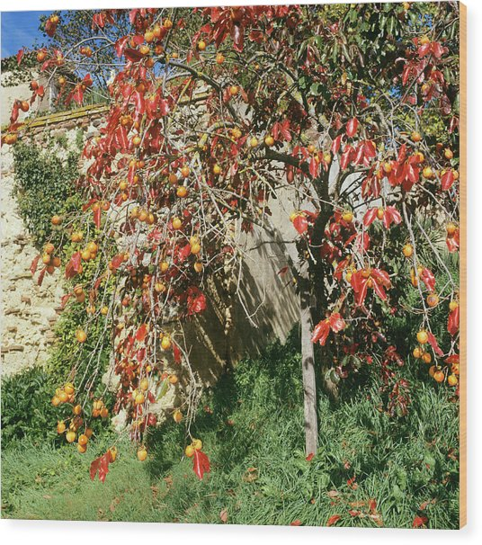 Persimmon Tree With Fruit Wood Print by Mark De Fraeye/science Photo Library