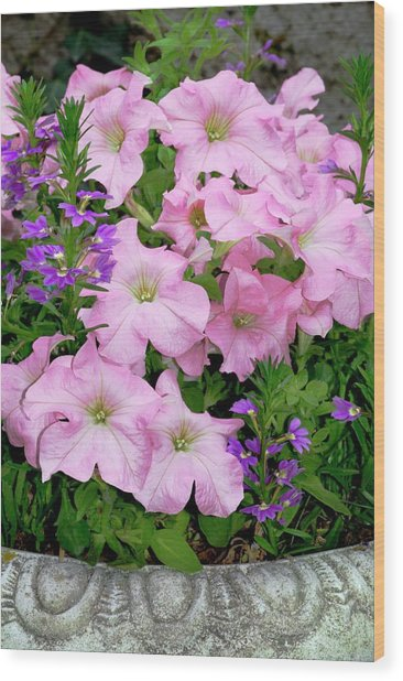 Petunia X Hybrida 'pink Lady' Wood Print by Brian Gadsby/science Photo Library