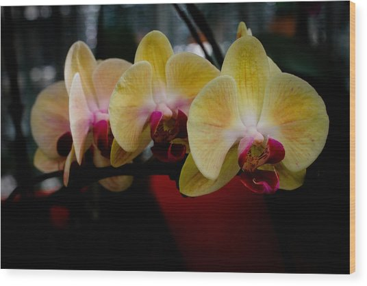 Phalaenopsis Yellow Orchid Wood Print by Donald Chen