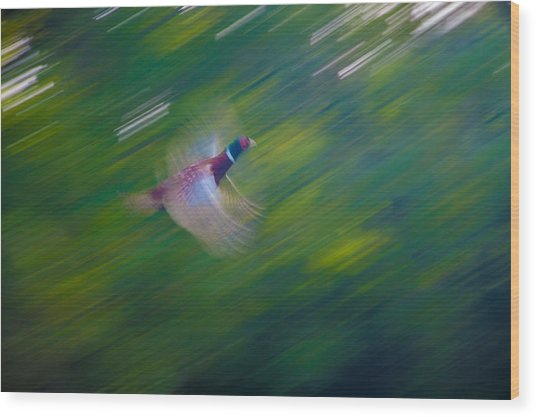 Pheasant Flight Wood Print