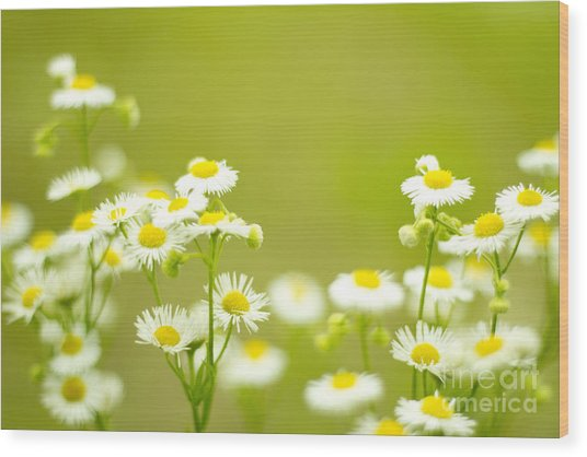 Philadelphia Fleabane Wildflowers In Soft Focus Wood Print