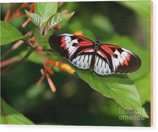 Piano Key Butterfly On Fire Bush Wood Print