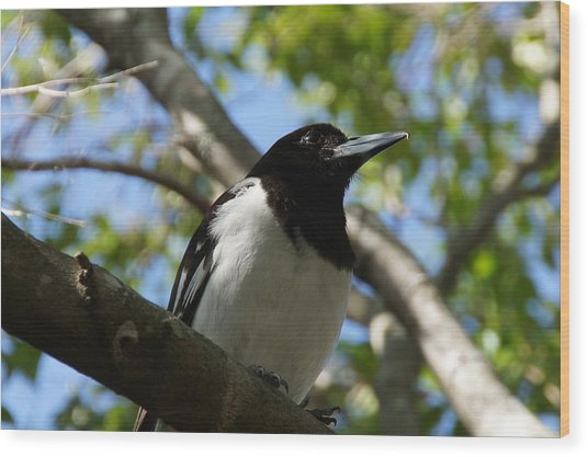 Pied Butcher Bird Wood Print by Dani Katz