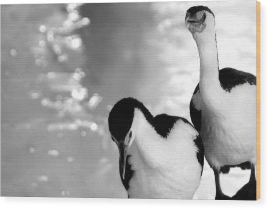Pied Cormorants Wood Print