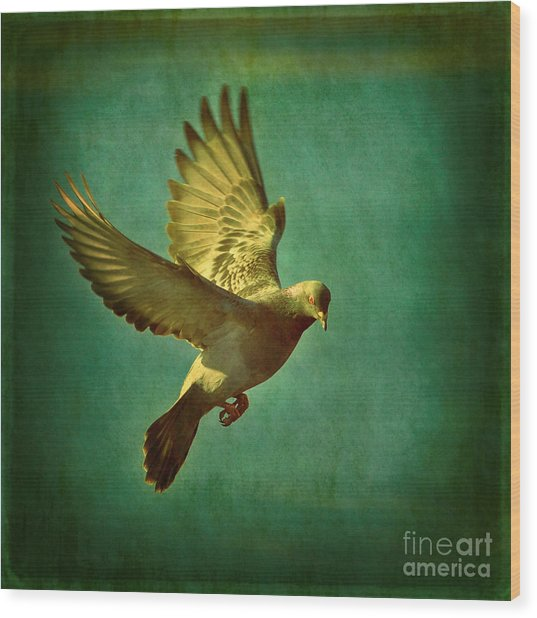 Pigeon Mating Flight Wood Print