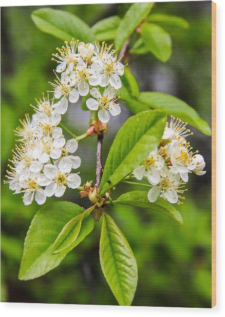 Pin Cherry Blossoms Wood Print by Susan Crossman Buscho