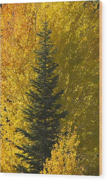 Pine In Aspens Wood Print