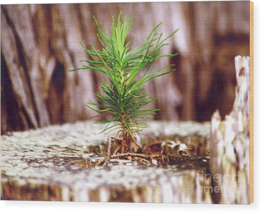 Pine Seedling Wood Print