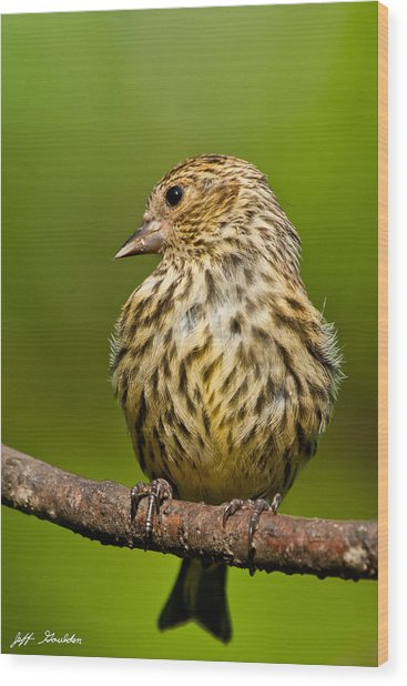 Pine Siskin With Yellow Coloration Wood Print