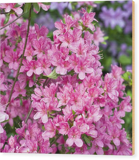Pink And Blue Rhododendron Wood Print by Frank Tschakert