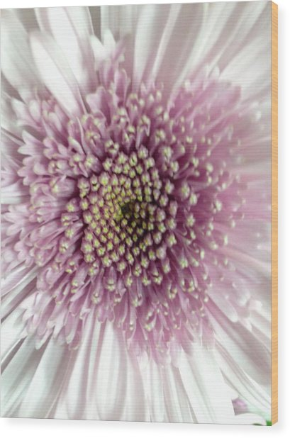 Pink And White Chrysanthemum Wood Print