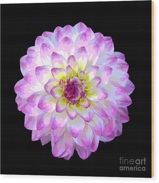 Pink And White Dahlia Posterized On Black Wood Print by Rosemary Calvert